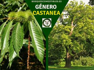 El género Castanea arboles caducifolio, entomófilos, de amplia copa