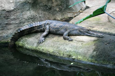 gavial falso Tomistoma schlegelii
