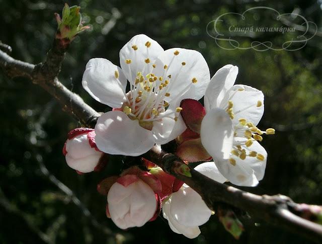абрикос, как цветет абрикос, наблюдение за природой, хюгге