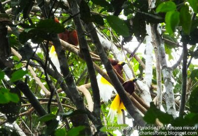Birding Tour in Sorong regency of West Papua, Indonesia