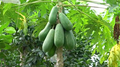 Unripe fruits hazardous