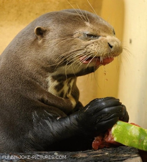 Funny Otter Hates Watermelon Photograph
