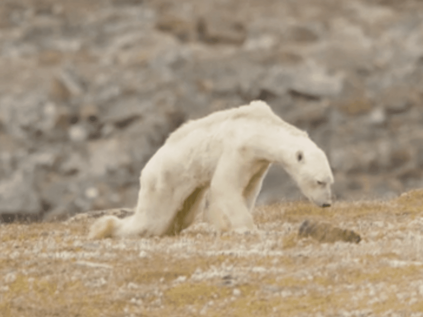 Heartbreaking Video Of Helpless Polar Bear Starving To Death