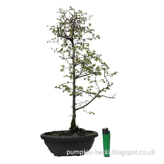 Amazon listing Zelkova serrata Japanese Elm Bonsai