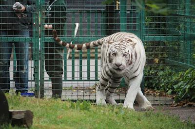 White tiger at Paradise Wildlife Park