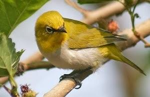 Mungkinkah Merawat Burung Pleci Tanpa Voer MUNGKINKAH MERAWAT BURUNG PLECI TANPA VOER?