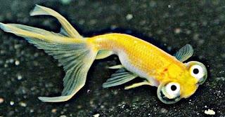 Gambar Ikan Mas Koki Choten Gan