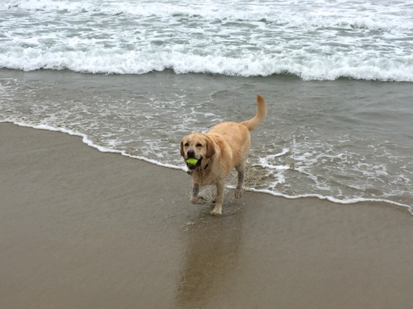 Labrador Cooper Huntington Dog Beach