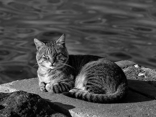 black and white cat pictures