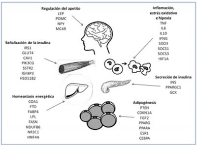 disfunción de células beta obesidad y diabetes