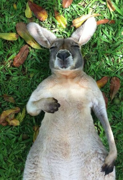 photographie de kangourou qui dort