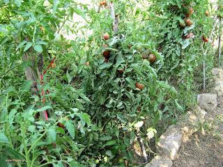 Εχθροί και ασθένειες ντομάτας