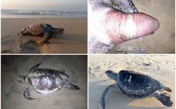 FOTOS: Aparecen 101 tortugas marinas muertas en guerrero Mexico.