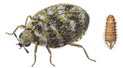 How to get rid of grain beetles