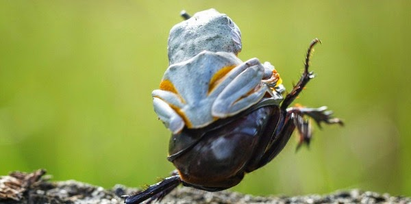 Watch this Cowboy Frog have fun riding a Beetle via geniushowto.blogspot.com the flying frog takes off the cowboy way while sticking his one hand in the air just like a cowboy while riding the beetle