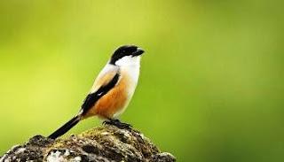 gambar burung pentet