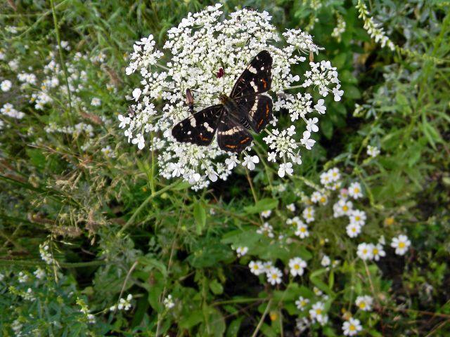 motyl, krwawnik, łąka, kwiaty