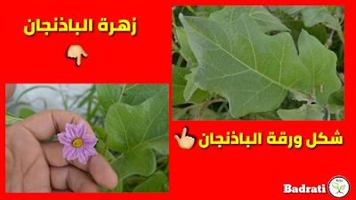باذنجان باتنجان دنجال Solanum melongena