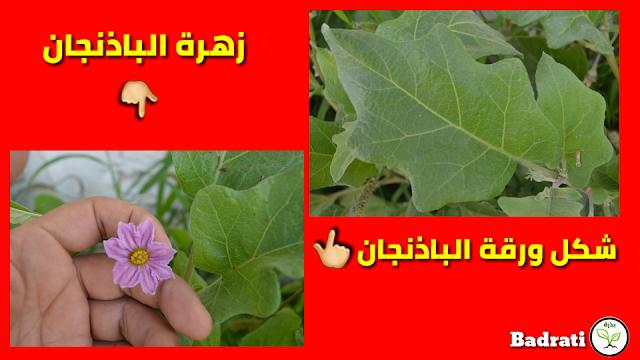 تعلم زراعة الباذنجان من البذور من البداية فى المنزل بكل بساطة