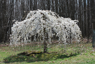 white, weeping cherry tree