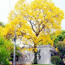 Lapacho amarillo misionero Tabebuia pulcherrima