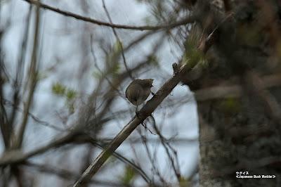 ウグイス ≪Japanese Bush Warbler≫