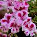 El geranio como flor comestibles