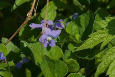 Common Blue Violet (Viola papilionacea)