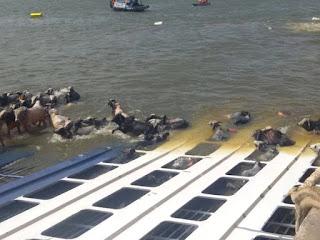 Resultado de imagem para Navio Haidar, despejou sobre a praia mais de 400 bois mortos.