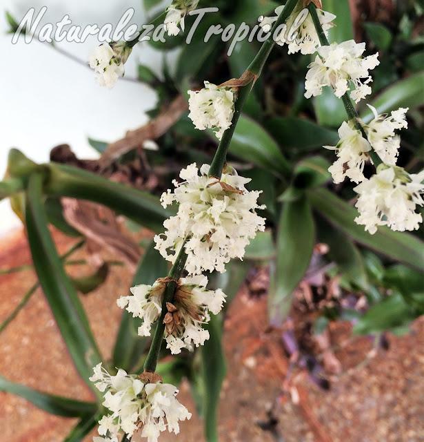 Vista más de cerca de las flores de la planta canasta, Callisia fragans
