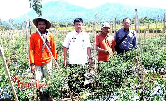 Cabai Kriting Dipetani Tanggamus Mencapai RP45 Ribu
