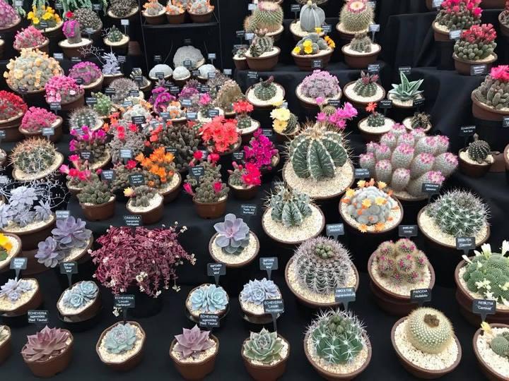 Plantas suculentas en Great Pavilion, RHS Chelsea Flower Show