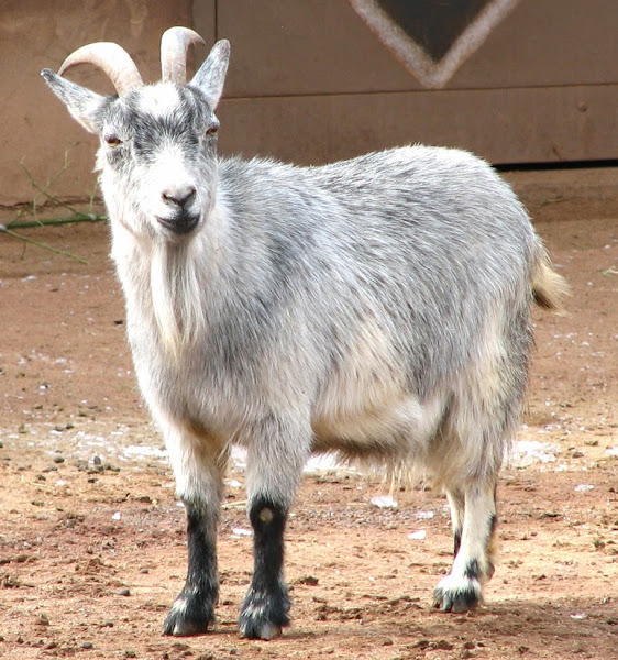 How to Help A Pygmy Goat Gain Weight | Modern Farming Methods
