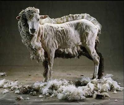 Wow .. Ada Salon Domba di Pasar Ternak Cigembor Ciamis