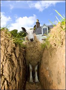 sheep in ditch