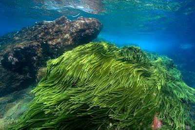 Giảm cân an toàn với tảo biển Nhật Bản Spirulina