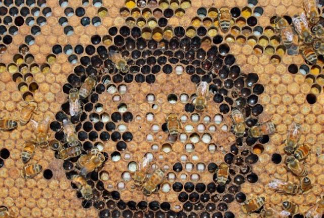 Όλα τα στάδια του γόνου... Απο σκουληκάκι σε μέλισσα - η μεταμόρφωση VIDEO