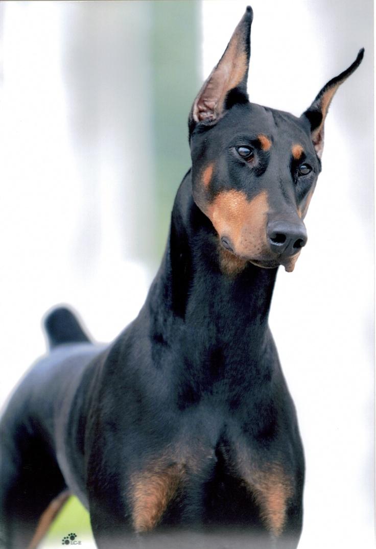 Doberman-pies Sportowiec. Jakie Sporty Dla Dobermana