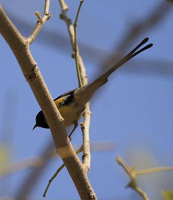 Suimanga del Valle del Nilo (Anthreptes metallicus)
