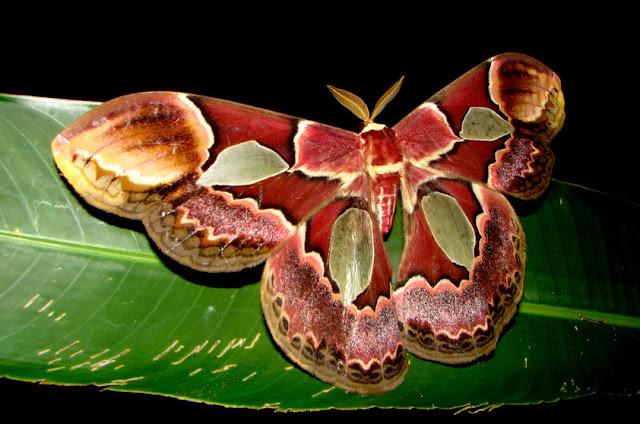 Mariposa-atlas - Rothschildia sp - Amazonia