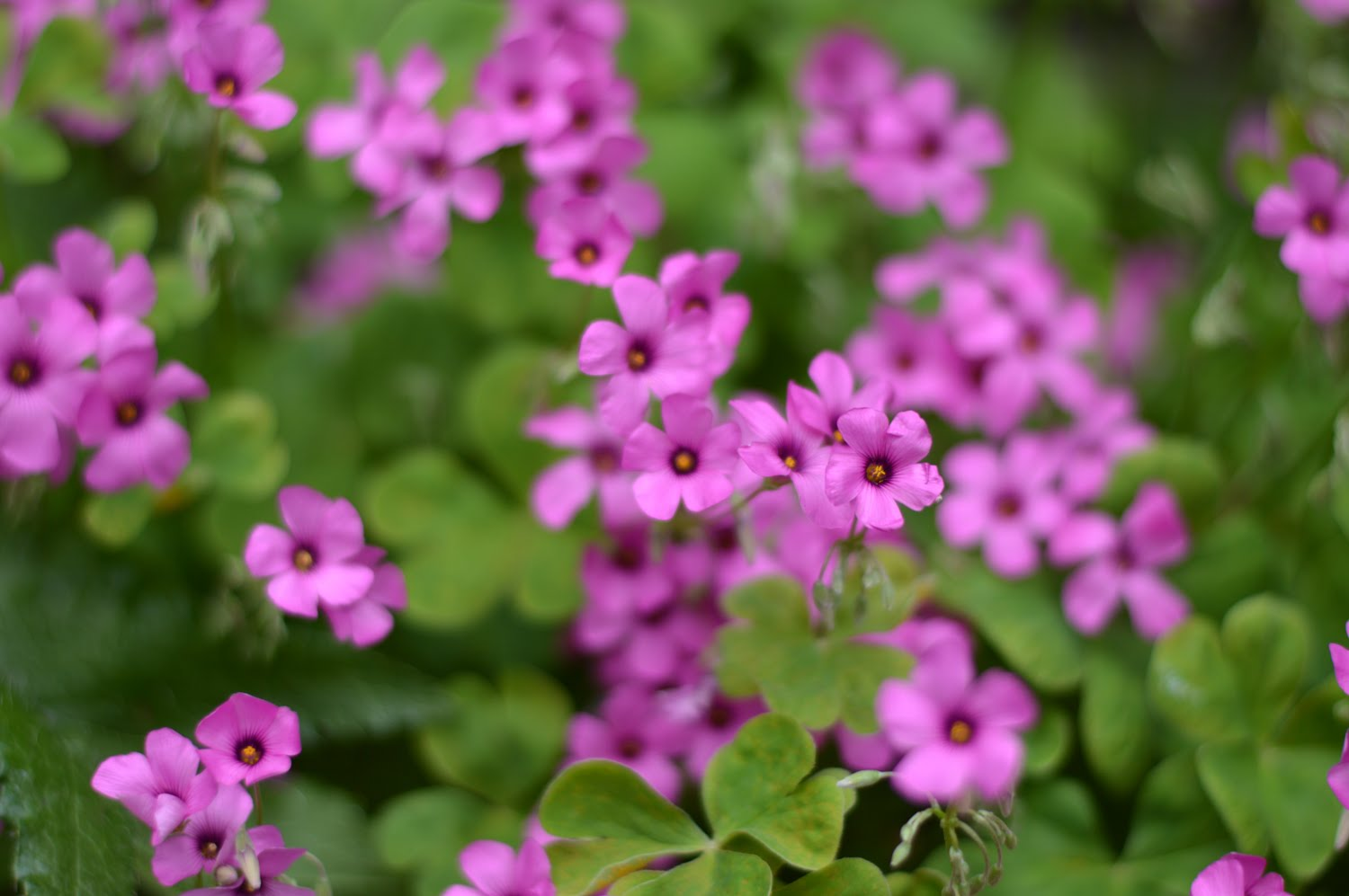 Miniature Pink Flowers
