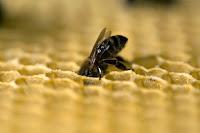 Comparto un nuevo audiovisual sobre la abeja reina. Es la segunda vez que dirijo la cámara hacia las abejas, unos insectos fascinantes. Esta especie, vital para nuestra supervivencia, se encuentra en una situación muy complicada y su población está sufriendo una caida debido a diversas razones que van desde el uso de agroquímicos a los cambios climáticos debidos principalmente a la deforestación. Espero que este audiovisual ayude a conocer un poco mejor a las abejas ayude a protegerlas.