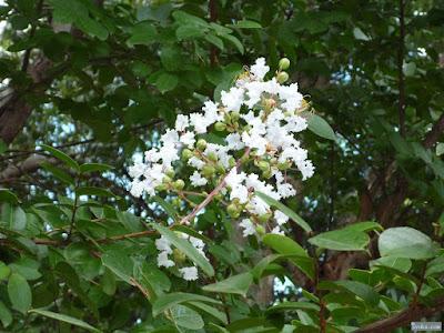 白のサルスベリ