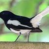 Manfaat Cacing Tanah Untuk Mengatur Birahi Burung Kacer