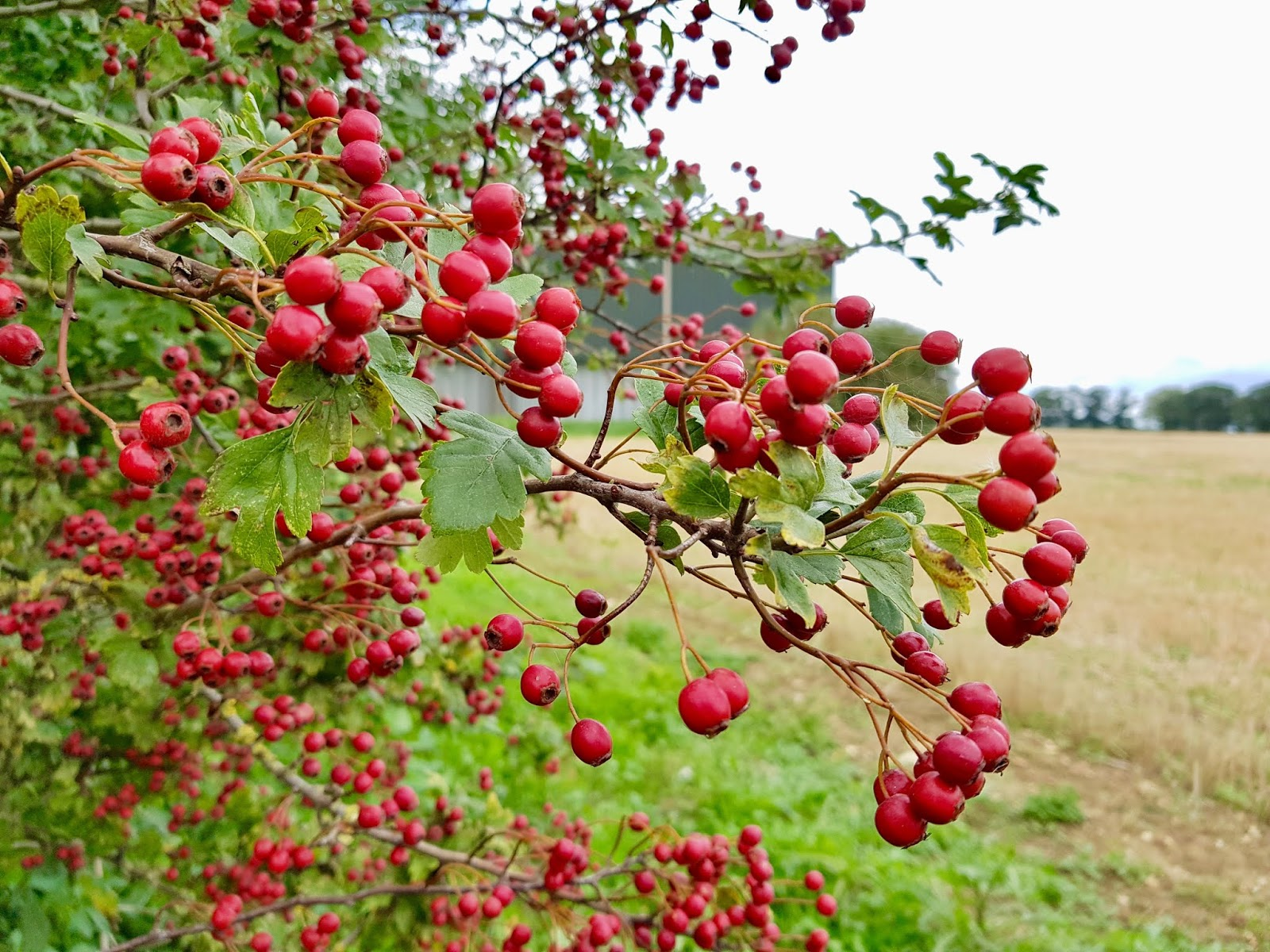 red hawthorn berries on a bush, hedgerow in background