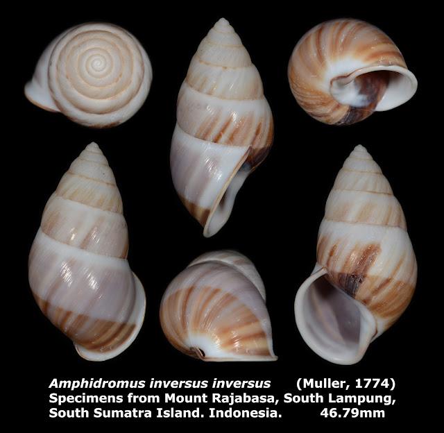 Amphidromus inversus inversus 46.79mm