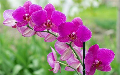 Sağlıklı orkideler çok sayıda çiçek açarlar