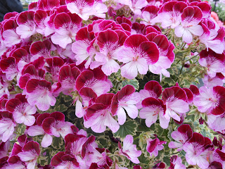 The National Pelargonium Show 16th June 2012