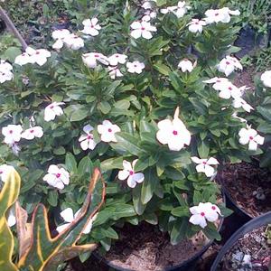 Jual Tanaman Tapak Dara Bunga Putih Dan Pink | Tanaman Obat Herbal Tapak Dara | Jual Tanaman Hias | Jasa Tukang Taman