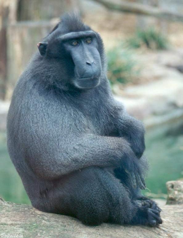 Gambar Binatang Monyet Hitam Sulawesi